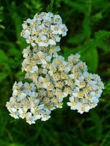 plantes douleur règles toulouse saint jean lerude naturopathie acupuncture